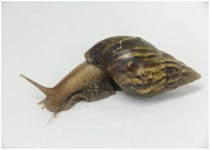 El aumento de la población de caracoles africanos en Cuba tiene preocupados a las autoridades.