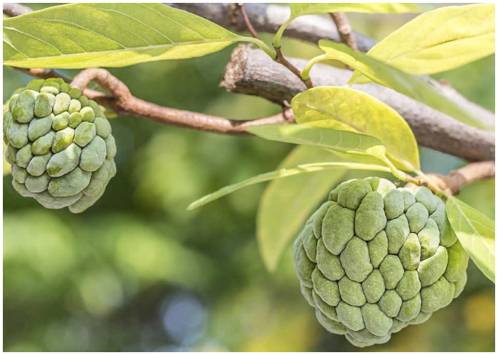 El anón es una fruta deliciosa, dulce y llena de numerosos beneficios para el organismo.