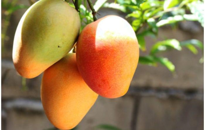 Mango, una deliciosa y excelente fruta que se da en suelo cubano.
