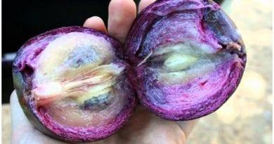 El caimito, deliciosa fruta tropical que crece en Cuba.