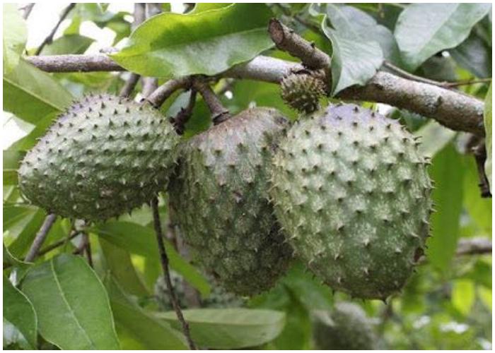 La guanábana, delicioso fruto de las regiones tropicales de América.