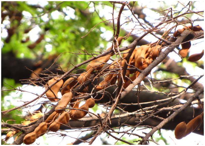 Árbol cargado con tamarindos.