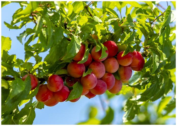 La ciruela es una fruta que ayuda a mejorar la salud visual.