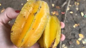 Frutas cubanas: Ciruela china