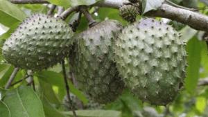 Frutas cubanas: Guanábana
