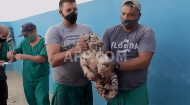 Yanek: el primer tigre blanco nacido en zoológico nacional de Cuba
